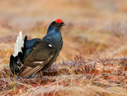 Benefit of the month_Black Grouse2